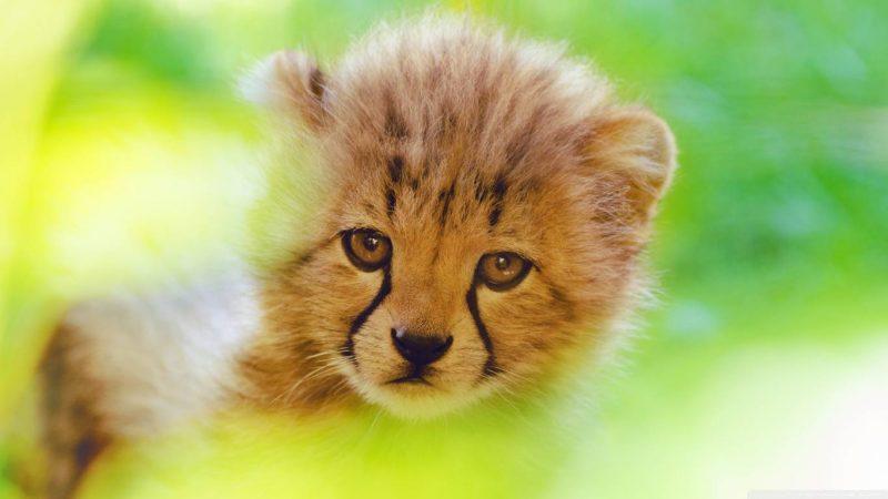 Cheetah Cub Face Wallpaper