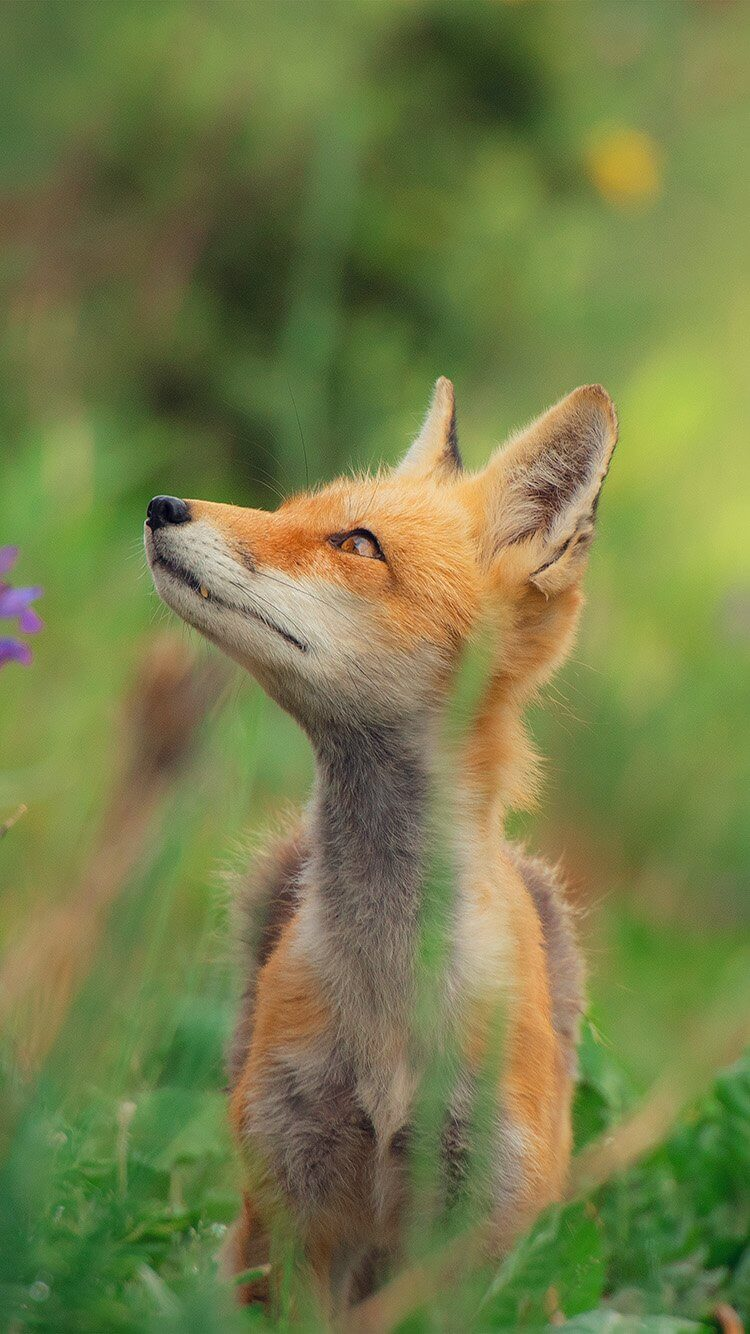 Little Fox Wallpaper for iPhone